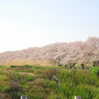 岩手県下某所の桜