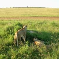 屋根なしSUVで走るサファリツアー「マサイマラ国立保護区」
