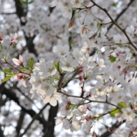 【2016年春のさくら】かつての陸軍病院に咲く桜【函南町】