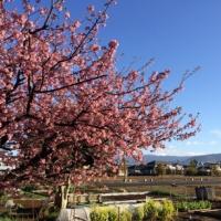 発見・今日の一枚「伊豆は河津桜の花盛り」