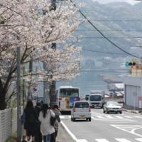 【2016年春のさくら】元気が飛び出す熱海の桜