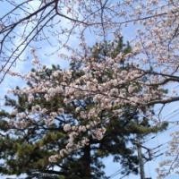 缶ビール飲みほしたら、広がる空に桜満開(東北からの手紙)