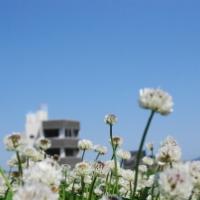 シロツメクサのお花畑