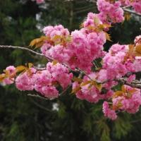 八重桜の花言葉
