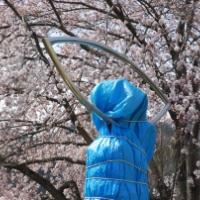 大船渡の時計台、この場所では最後の桜?