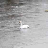 WILDLIFE in TOHOKU「北に帰らずにいる白鳥」