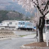 桜満開の大船渡