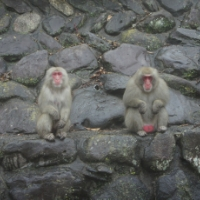 お猿の国の猿社会(小豆島)【旅レポ】