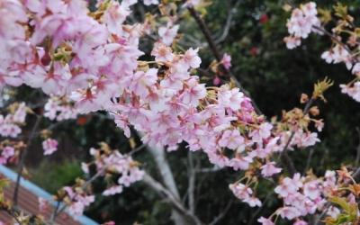 さくらを植える。花は咲く