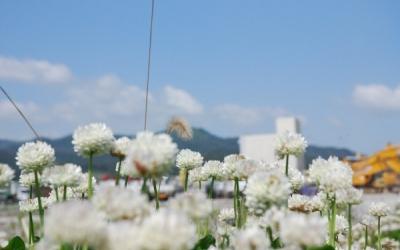 被災地を埋める白いクローバー(2013年6月4日の陸前高田)