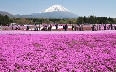 【写真記事】富士山麓に広がる花の絨毯 ~富士芝桜まつり~