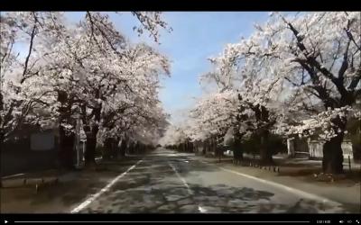 桜の名所「夜の森」と富岡町の桜の映像