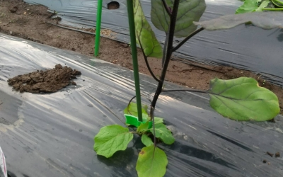 貸し農園で始める野菜作り(6)