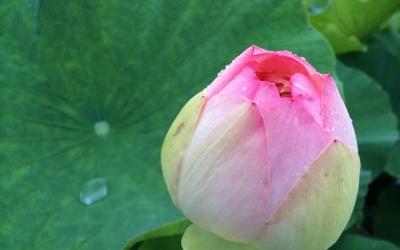 発見・今日の一枚「蓮はホントにポンと咲くのか」