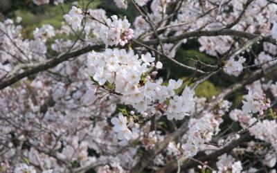 【2016年春のさくら】伊豆の山懐にいだかれて咲く花[函南町]