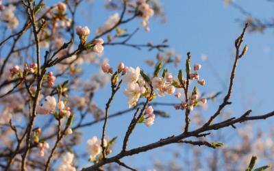 遠野 猿ヶ石川に咲く桜
