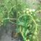 貸し農園で始める野菜作り(9)