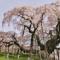 世界の人に勧めたい桜、三春滝桜☆