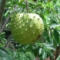 サワーソップ(シャシャップ、トゲバンレイシ) - 沖縄、小笠原でもレアな存在【変わった果物】