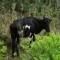 口之島(くちのしま)「日本で唯一、野生の牛が生息している島」【この島、日本で唯一】