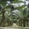パーム油と熱帯雨林の伐採について