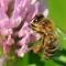 ミツバチ絶滅危機で人類も危機!?~ネオニコチノイド系農薬の危険性~