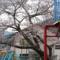 仮設住宅に咲く桜