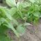 貸し農園で始める野菜作り(10)