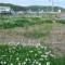 被災地を埋める白いクローバー(2013年6月2日の石巻)