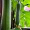 ヘチマ - 食物繊維が豊富な健康野菜【変わった野菜】