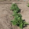 種から始める野菜作り(4)