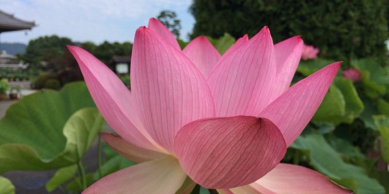 発見・今日の一枚「蓮の花、色とりどり」
