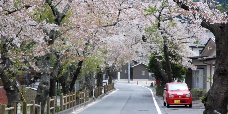 天皇陛下より1歳年下の桜並木