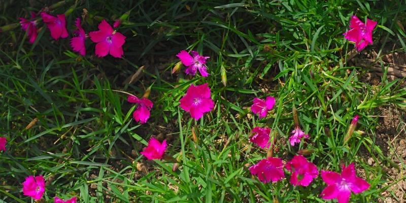 四季咲きナデシコの花言葉