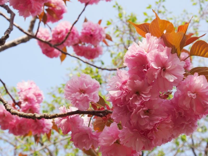非常に濃いピンク色の八重桜