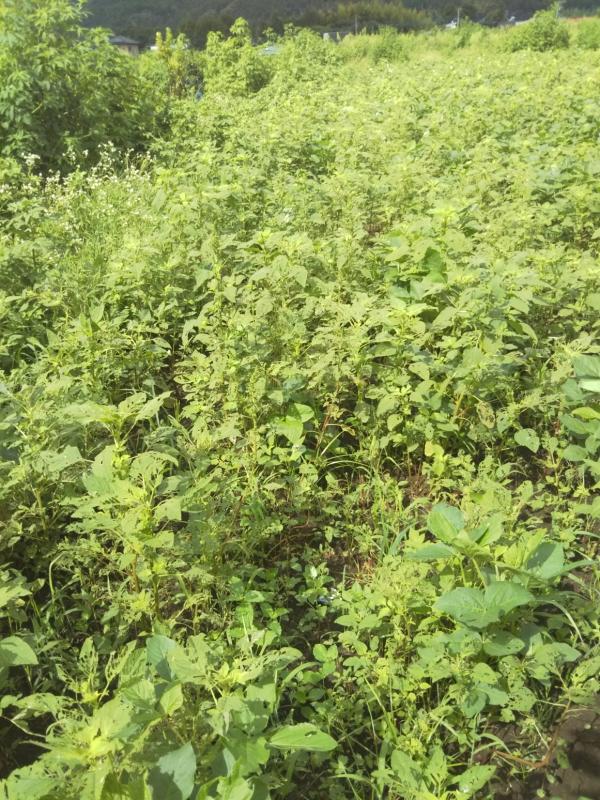 こちらは私たちが大豆の種をまいたところ。