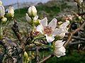 愛梨ちゃんの名前の由来となった梨の花、この花も白い色
