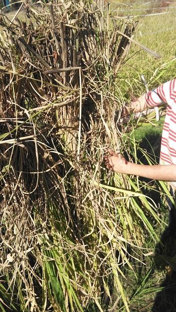 束ねた稲を半分に分けて、稲架に挟み込んでいます。
