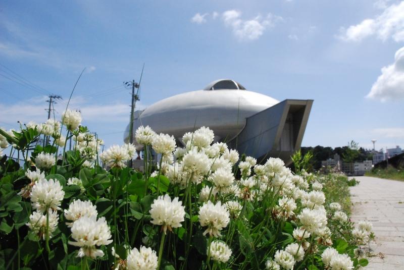 2013年のシロツメクサのお花畑は陸前高田だけではなかった。石巻市の中瀬でも