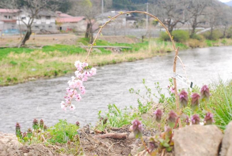 松日橋のない気仙川と小父さんの枝垂れ桜