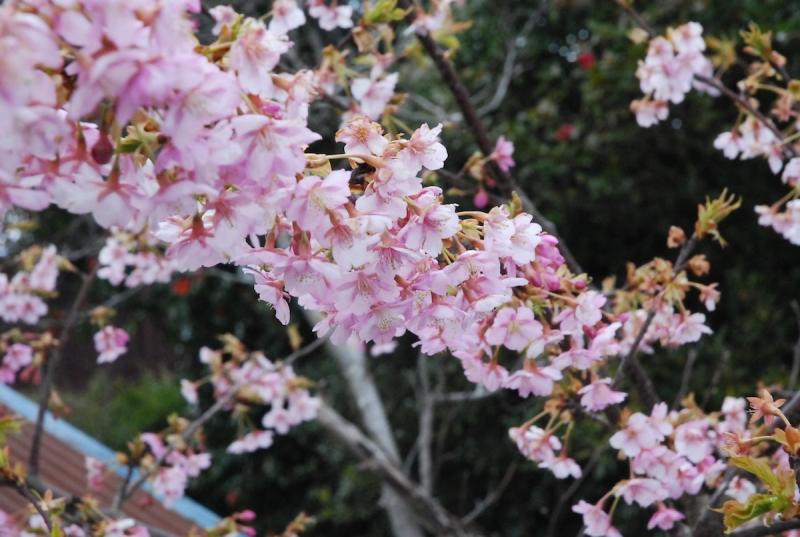 2014年3月に植樹した諏訪神社の桜