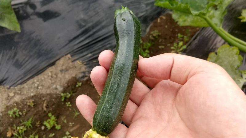 受粉させていないとこのように実が小さいまま収穫することになります