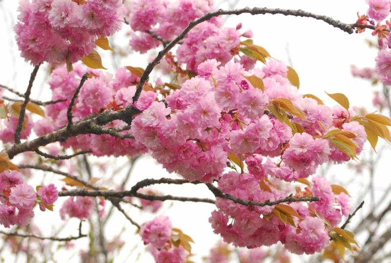 その翌日の八重桜