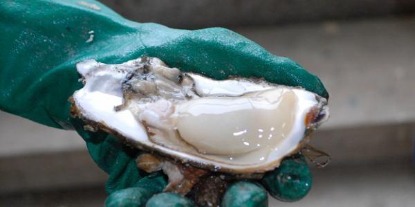 狐崎のおいしい牡蠣。ぷりぷりです!