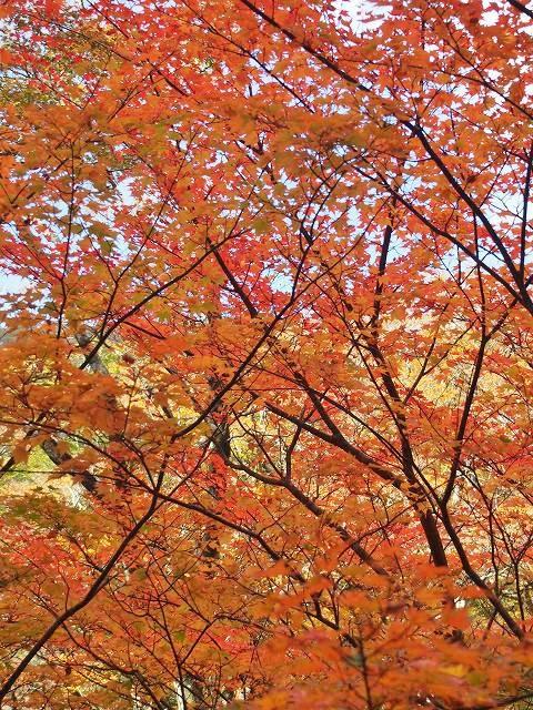 八丁池に近づくにつれ、紅葉した木々が増えてきました。所々にカエデなども生えています