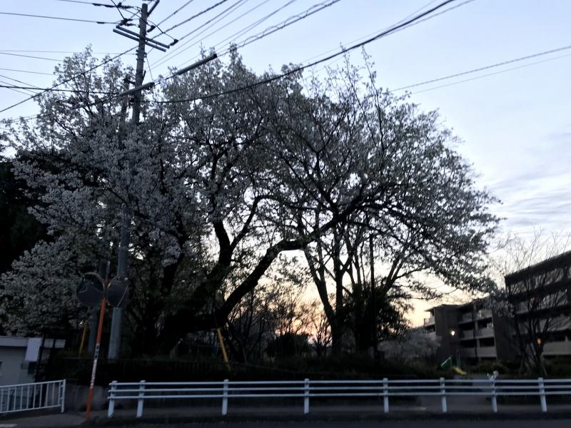 ちょっと(だいぶ)見にくいですが近所の公園の桜の木。娘が地面に落ちている花びらを踏まないように進むため、春先だけこの前を通るのにえらく時間がかかります。