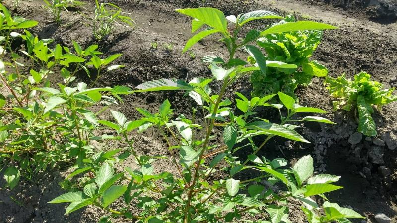夏野菜でも特に栄養価が高いモロヘイヤは育てやすいです。大雨の影響を全く受けませんでした
