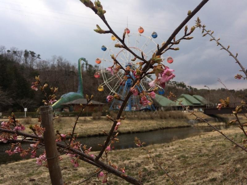 開きかけていた海竜の里の桜