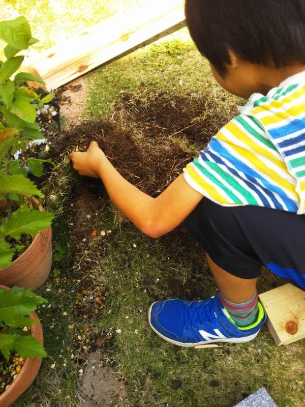 息子がきれいにめくれた芝生を手に取り観察。何かいたかな?