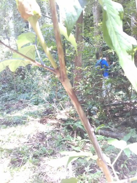 マムシグサ。茎がマムシ模様なのが特徴。長男はマムシグサを知っていてすぐに判別していました。